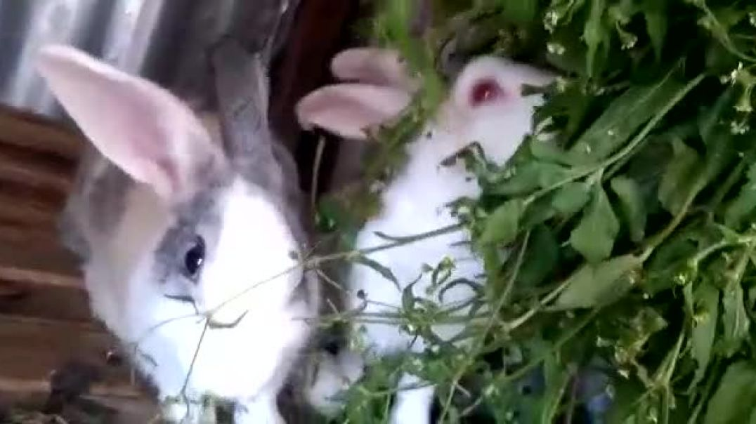 The life of rabbit in Africa